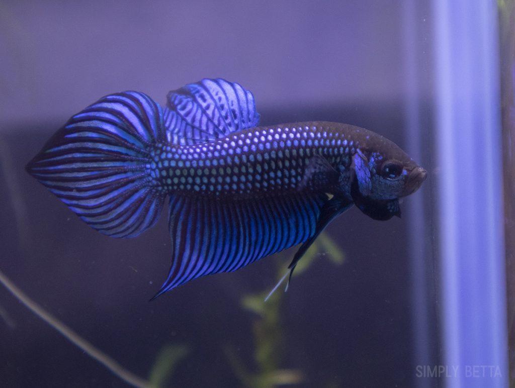 Betta mahachai male 1 for sale