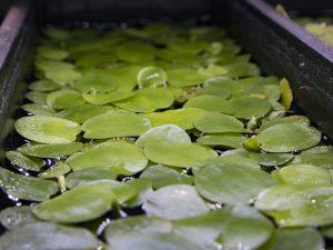 amazon frogbit floating plant cover example