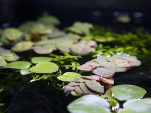 amazon frogbit and red root floater together