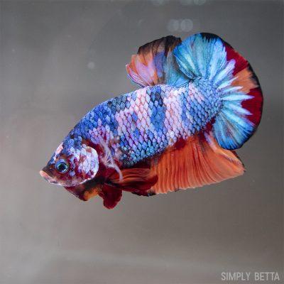 Candy nemo betta fish male product image