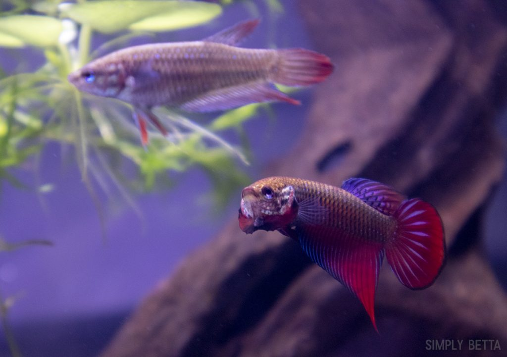 wild betta splendens red
