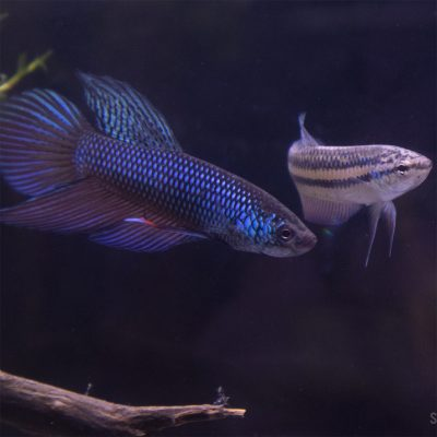 betta smaragdina pair for sale