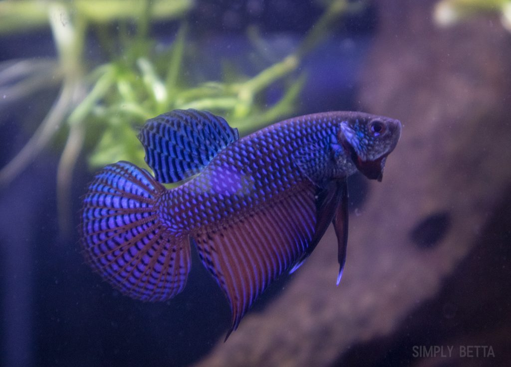 betta smaragdina guitar male for sale