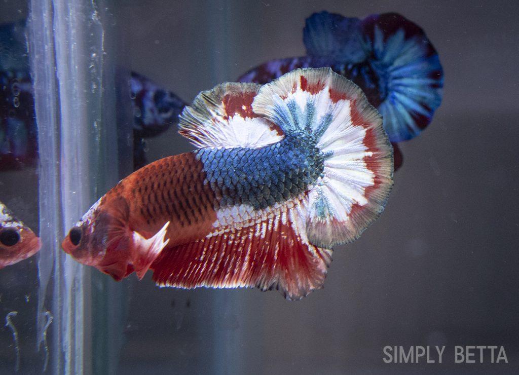 fancy male betta fish half metallic