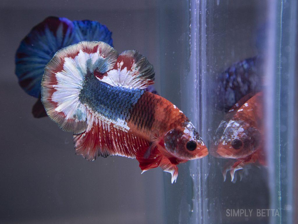 fancy male betta fish