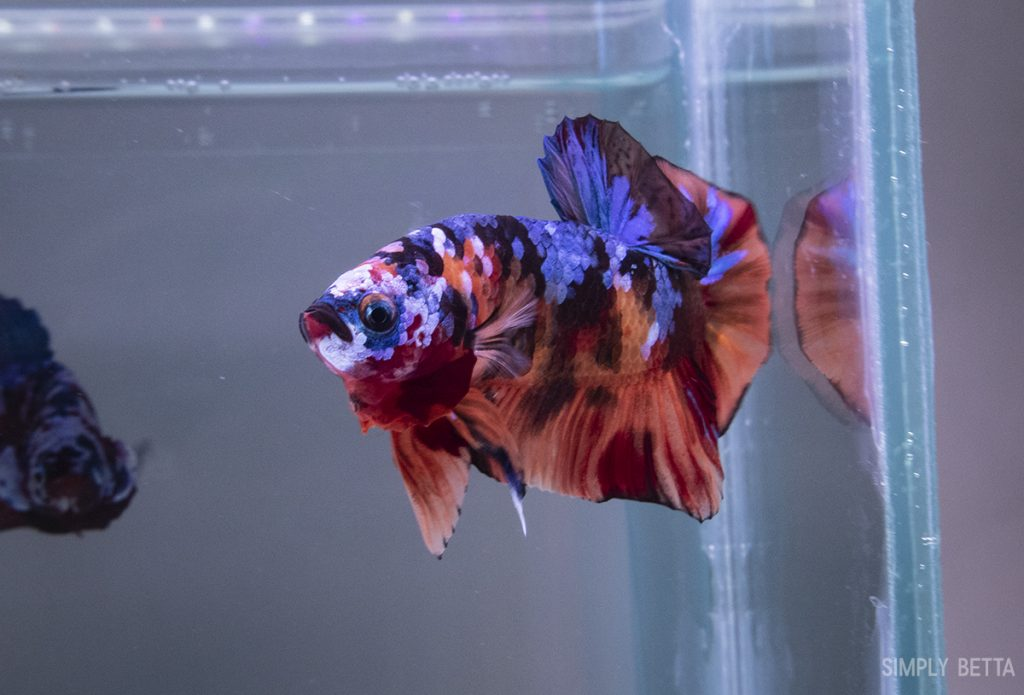 fancy koi male for sale
