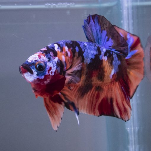 fancy koi betta male for sale product image